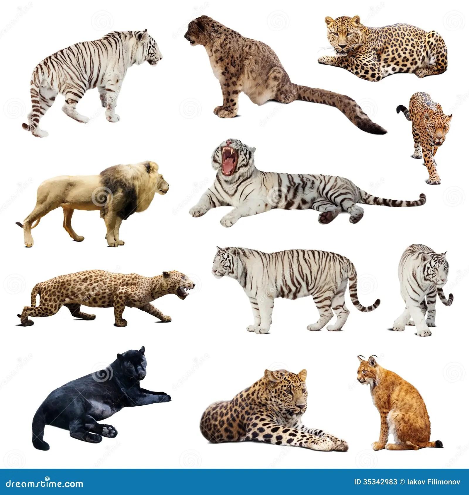 Satz Wildkatzen Stockbild Bild Von Collage Schnee