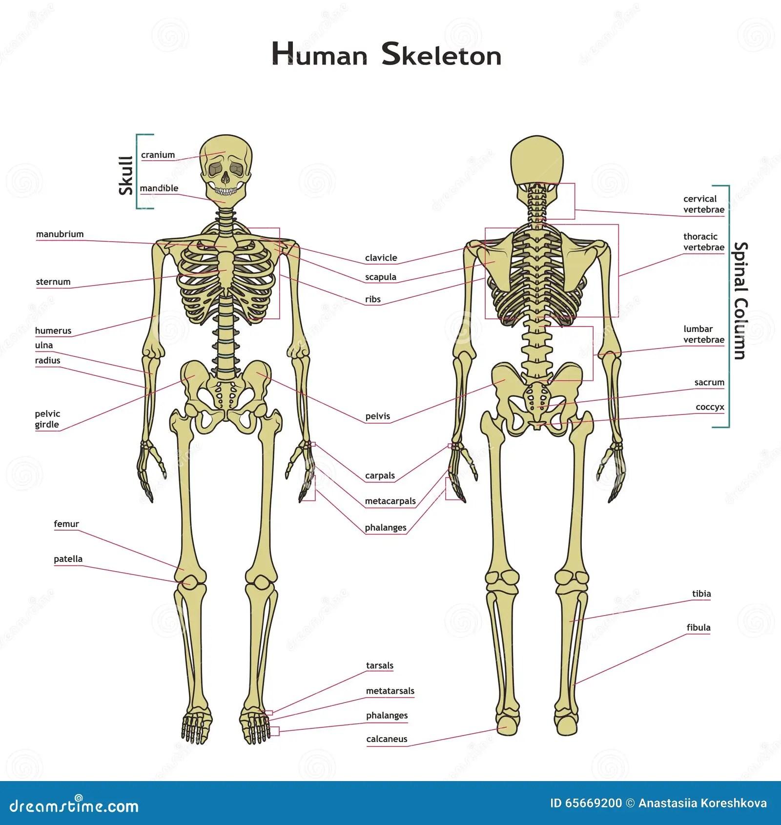 Scheletro Umano Anteriore E Posteriore Vista Con I