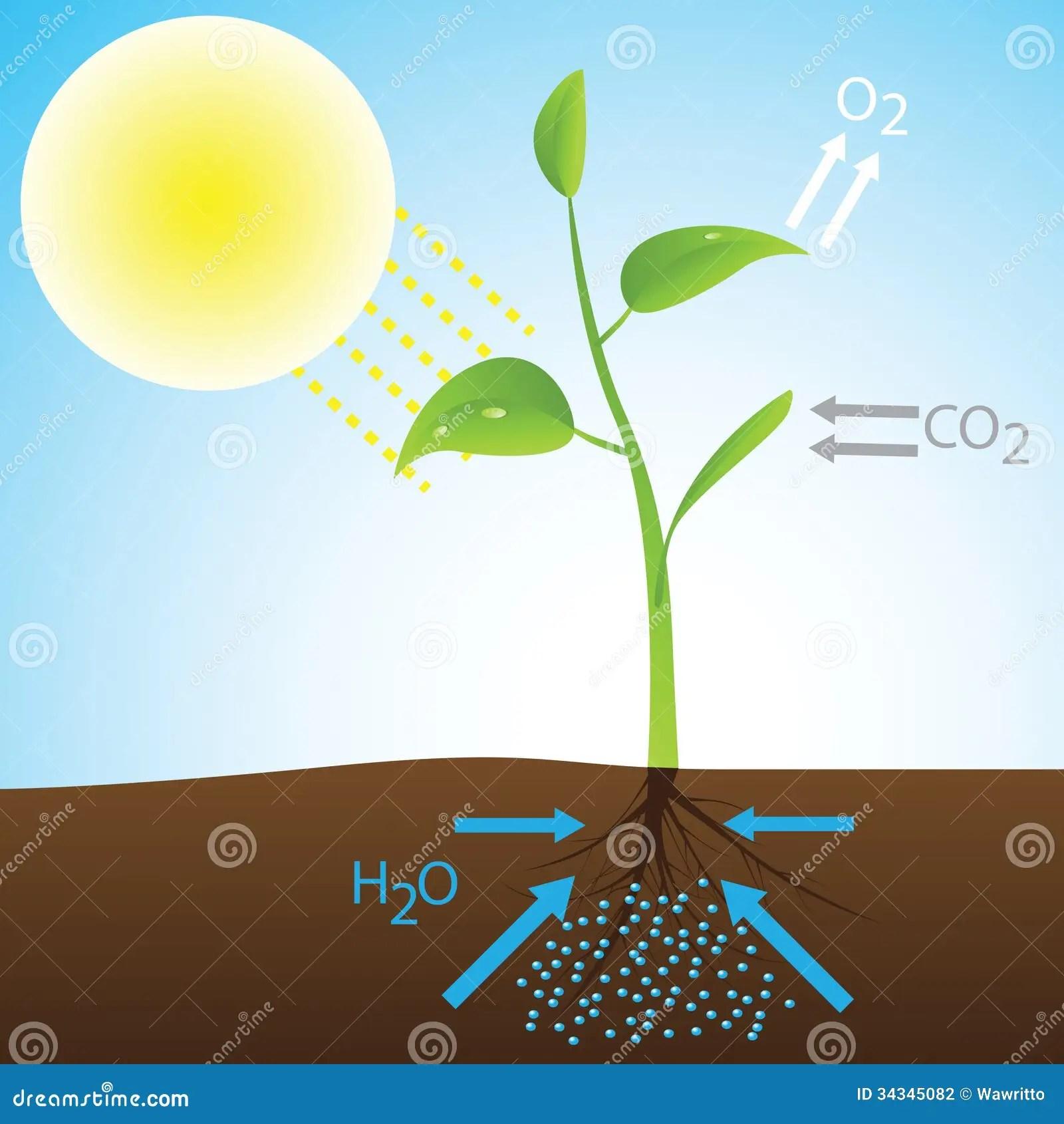 photosynthesis z scheme diagram 1976 bmw 2002 wiring of stock vector illustration