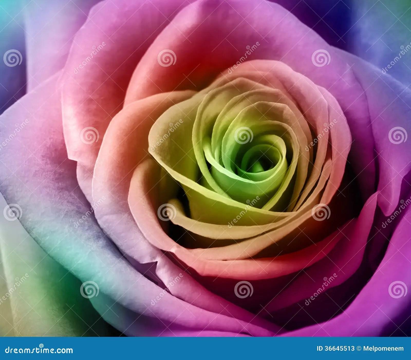 Schne Bunte Rose Stockfotos  Bild 36645513