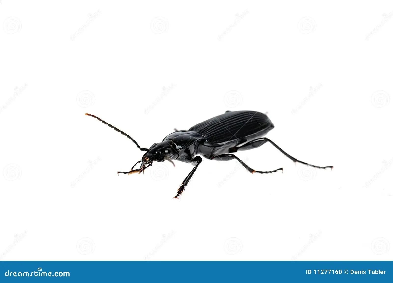 Großer Schwarzer Käfer Im Garten Kammerjaeger De Thema Anzeigen 2