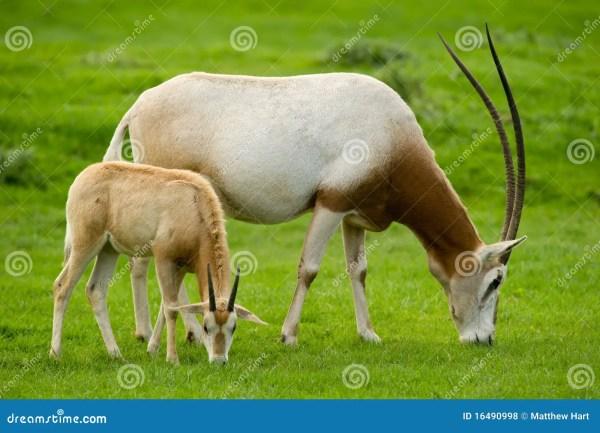 Baby Scimitar-Horned Oryx