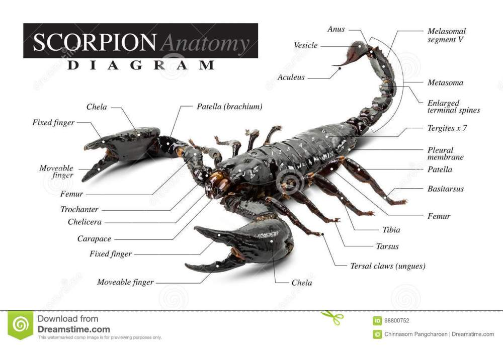medium resolution of diagram of the black scorpion anatomy on white background