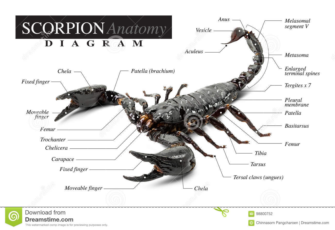 hight resolution of diagram of the black scorpion anatomy on white background