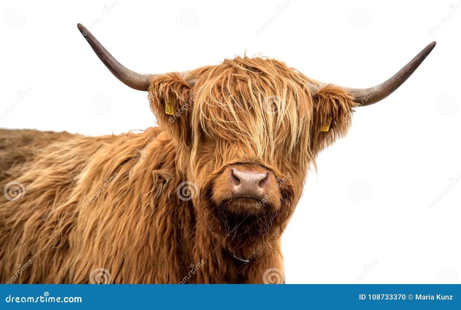 scottish highland cattle on