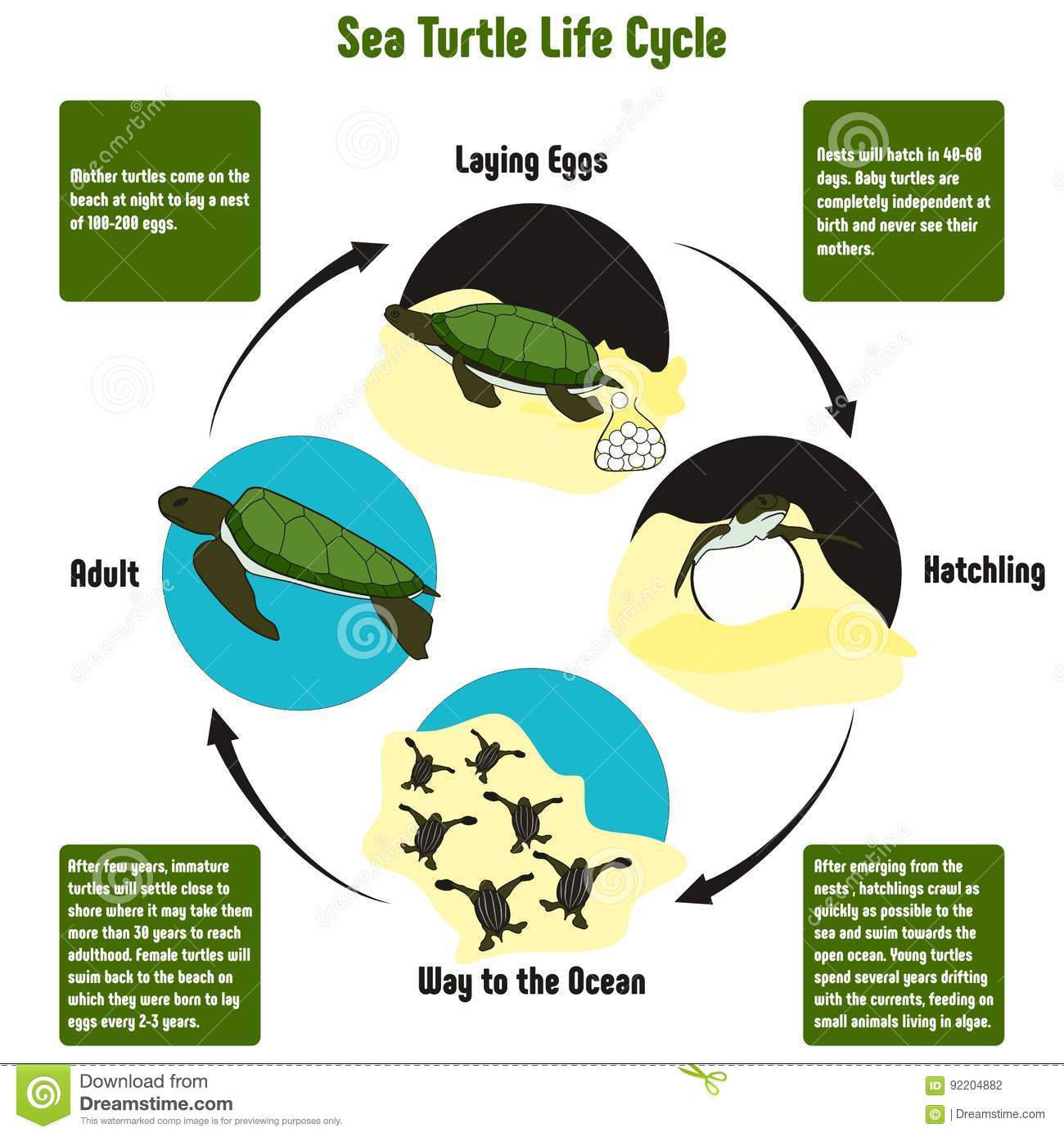 sea turtle life cycle diagram bargman breakaway system wiring for turtles information elsavadorla