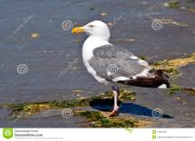 Seagull Basking Beach