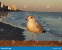 Myrtle Beach Seagulls