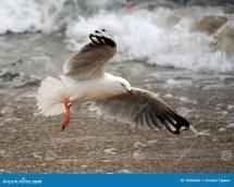 Seagull Flying Beach Stock - Of Bird