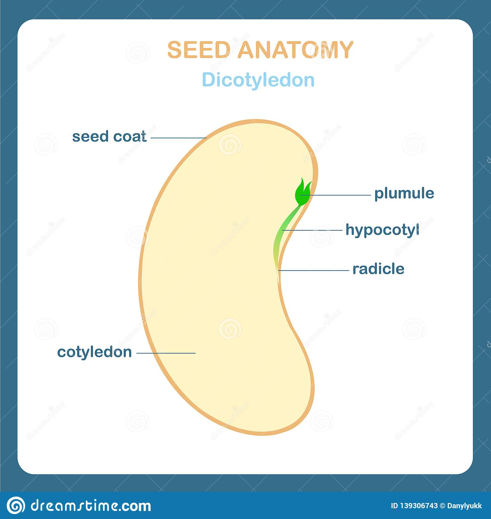 hight resolution of seed anatomy scheme dicotyledon bean seed coat plumule hypocotyl radicle cotyledon design element for education for botany school lesson