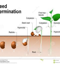 seed germination stock illustrations 1 489 seed germination stock illustrations vectors clipart dreamstime [ 1300 x 1133 Pixel ]