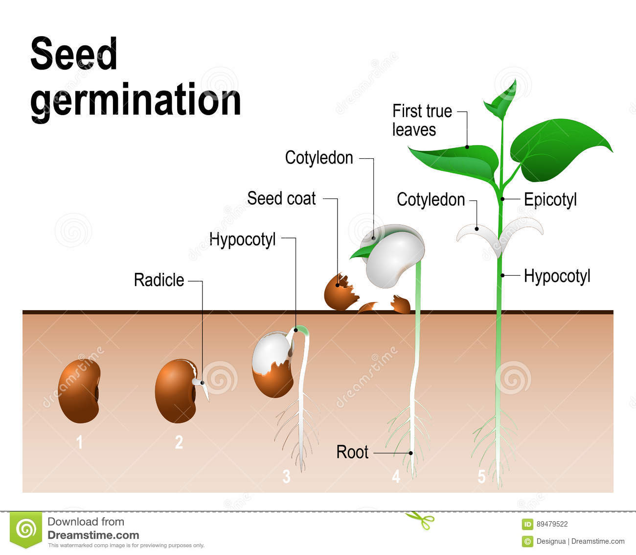 hight resolution of seed germination stock illustrations 1 489 seed germination stock illustrations vectors clipart dreamstime