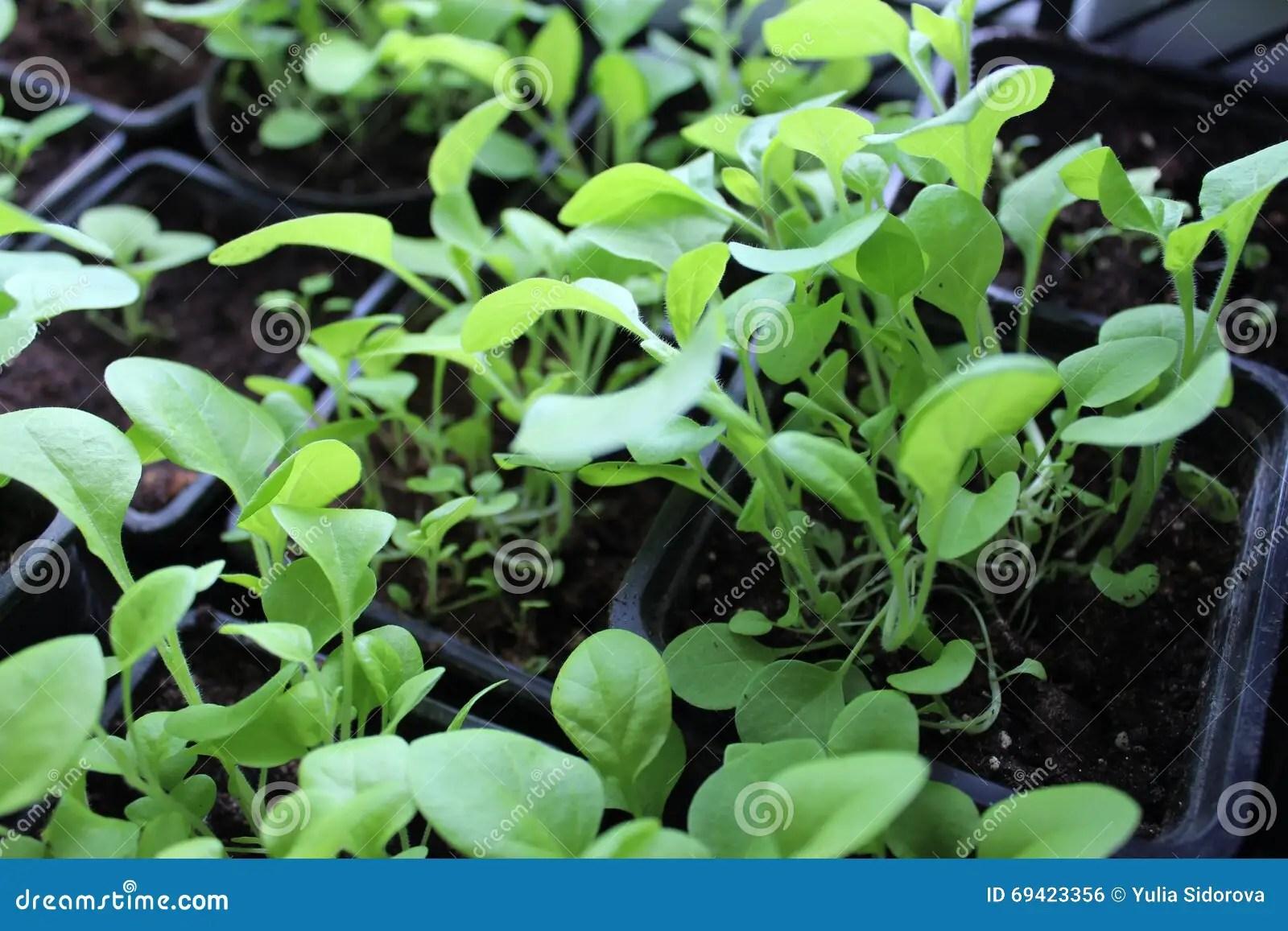 seedlings of flowers petunia