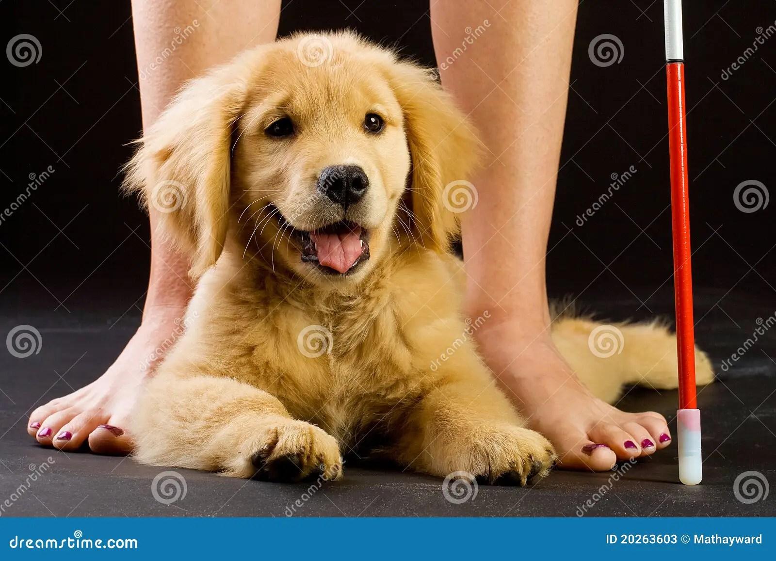 Seeing Eye Dog In Training Stock Photos