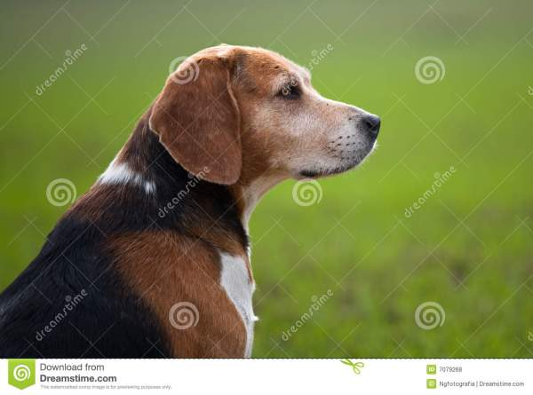 Senior Adult Beagle Dog Royalty Free Stock
