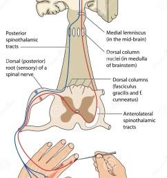 sensory and motor nerve pathways [ 855 x 1300 Pixel ]