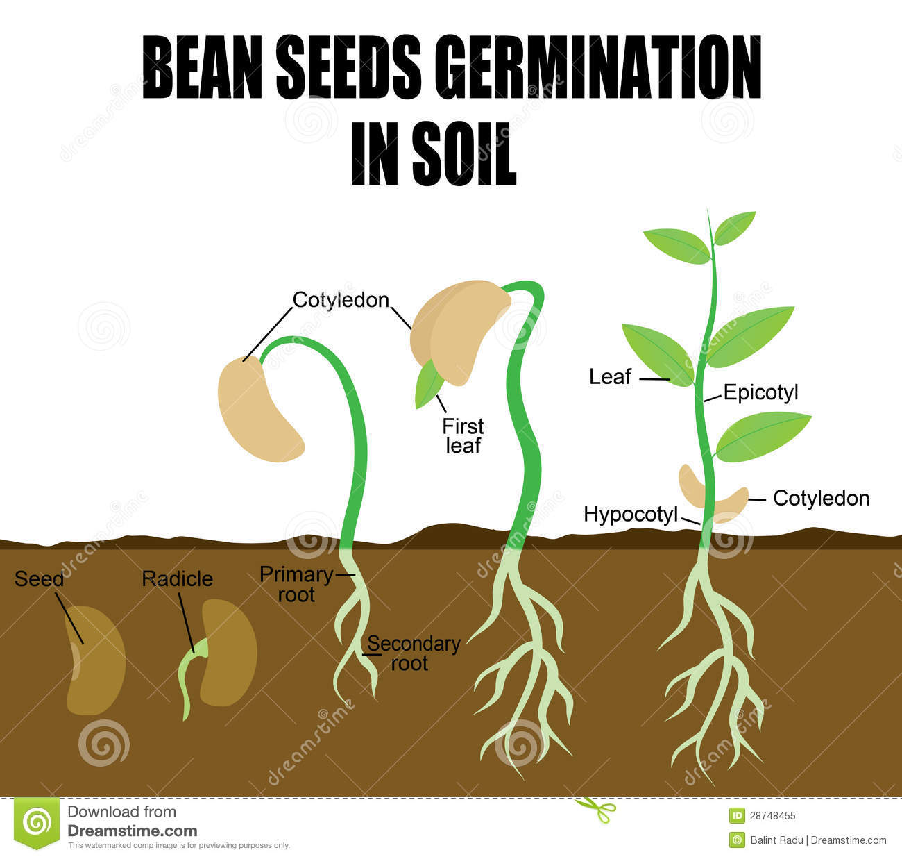 Sequence Of Bean Seeds Germination Stock Vector