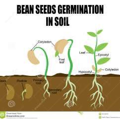 Bean Seedling Diagram Whirlpool Ultimate Care Ii Washer Parts Sequence Of Seeds Germination Royalty Free Stock
