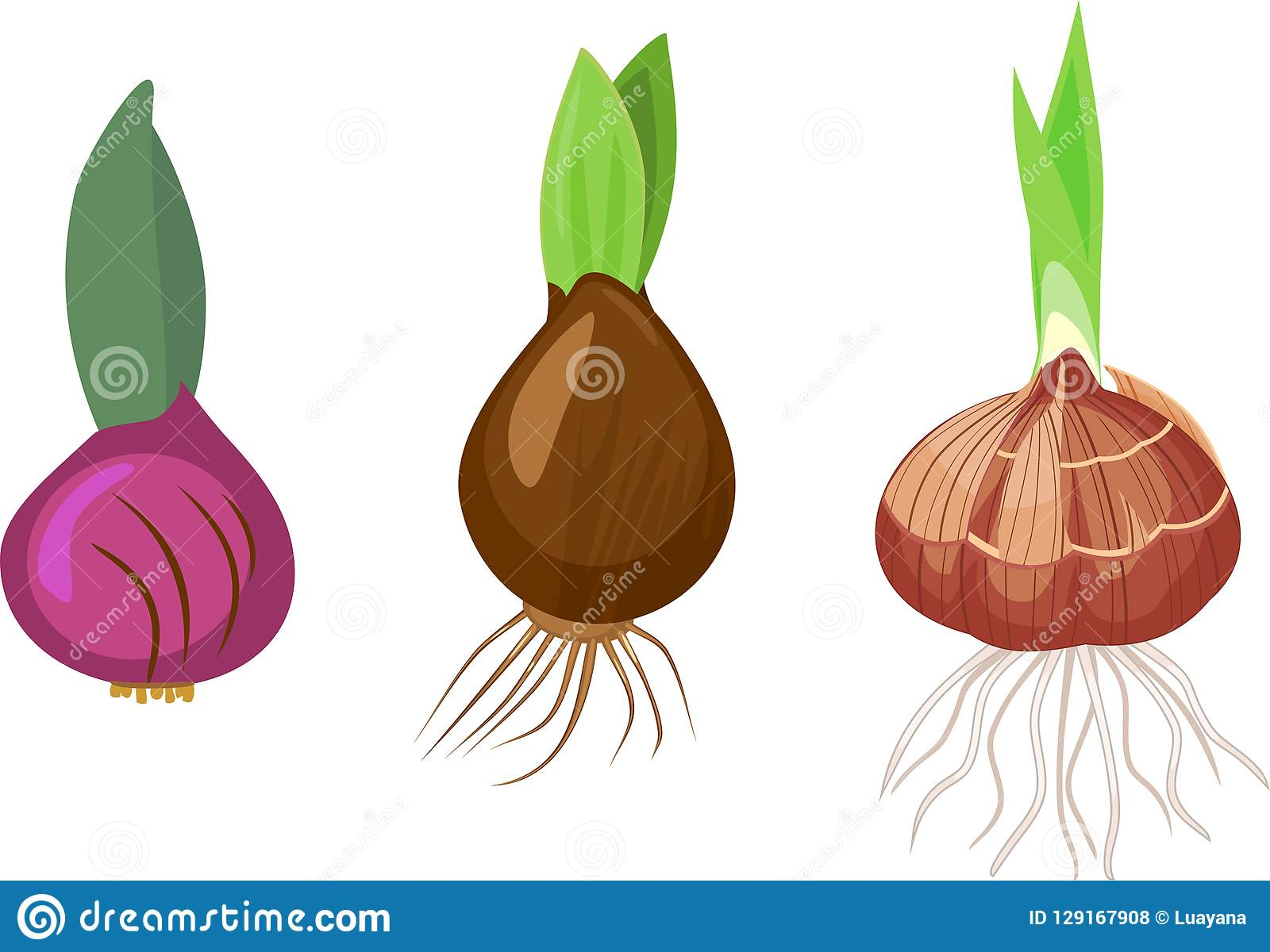 Set Of Bulbs Of Different Bulbous Plants With Green Sprout