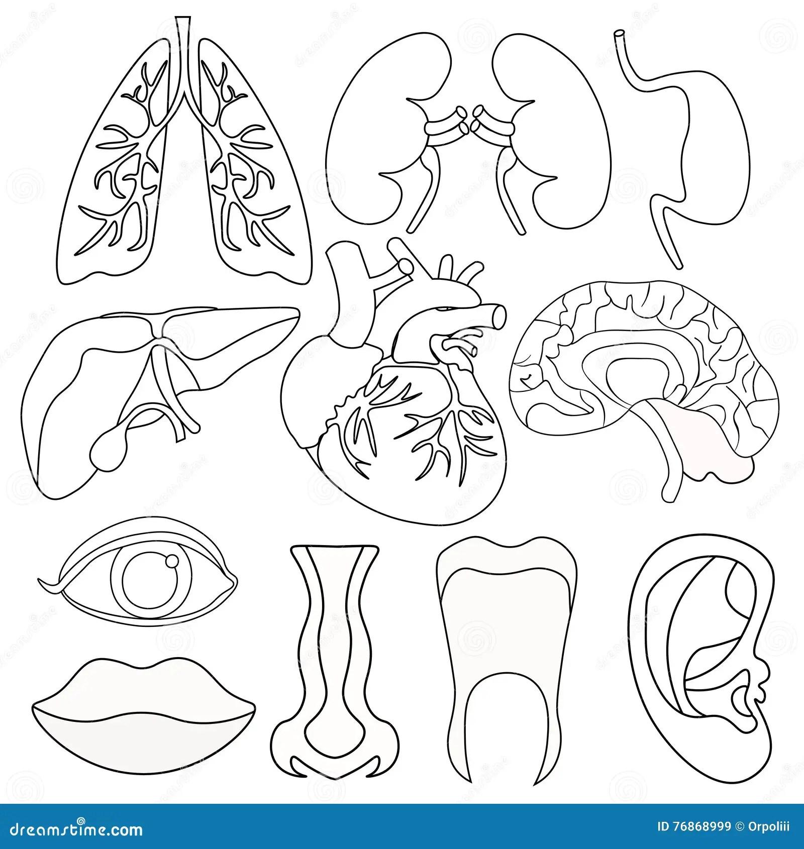 Human Body Organs Worksheets Sketch Coloring Page