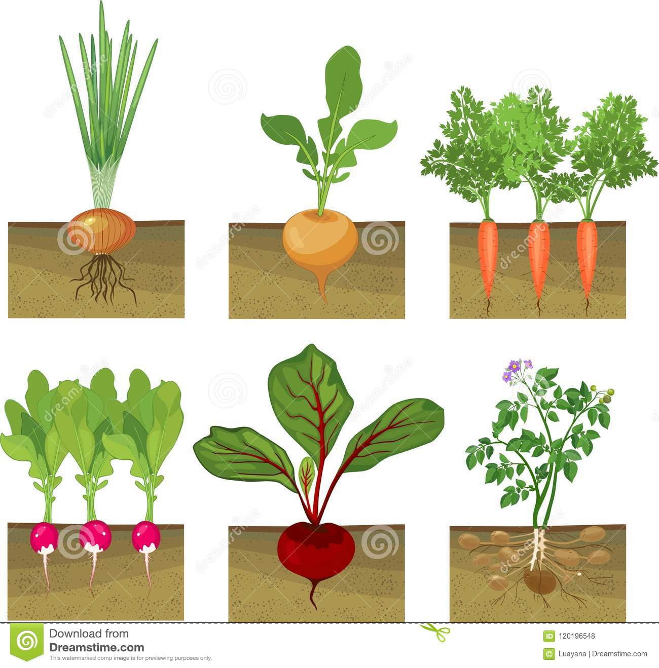 Set Of Different Vegetables Plant Showing Root Structure