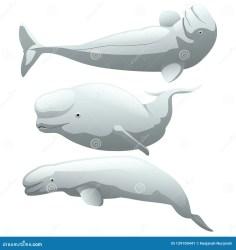 Cartoon Beluga Whale Stock Illustrations 361 Cartoon Beluga Whale Stock Illustrations Vectors & Clipart Dreamstime