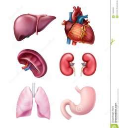 vector set of healthy realistic human organs liver spleen heart stomach kidneys and lungs isolated on white background [ 1130 x 1300 Pixel ]
