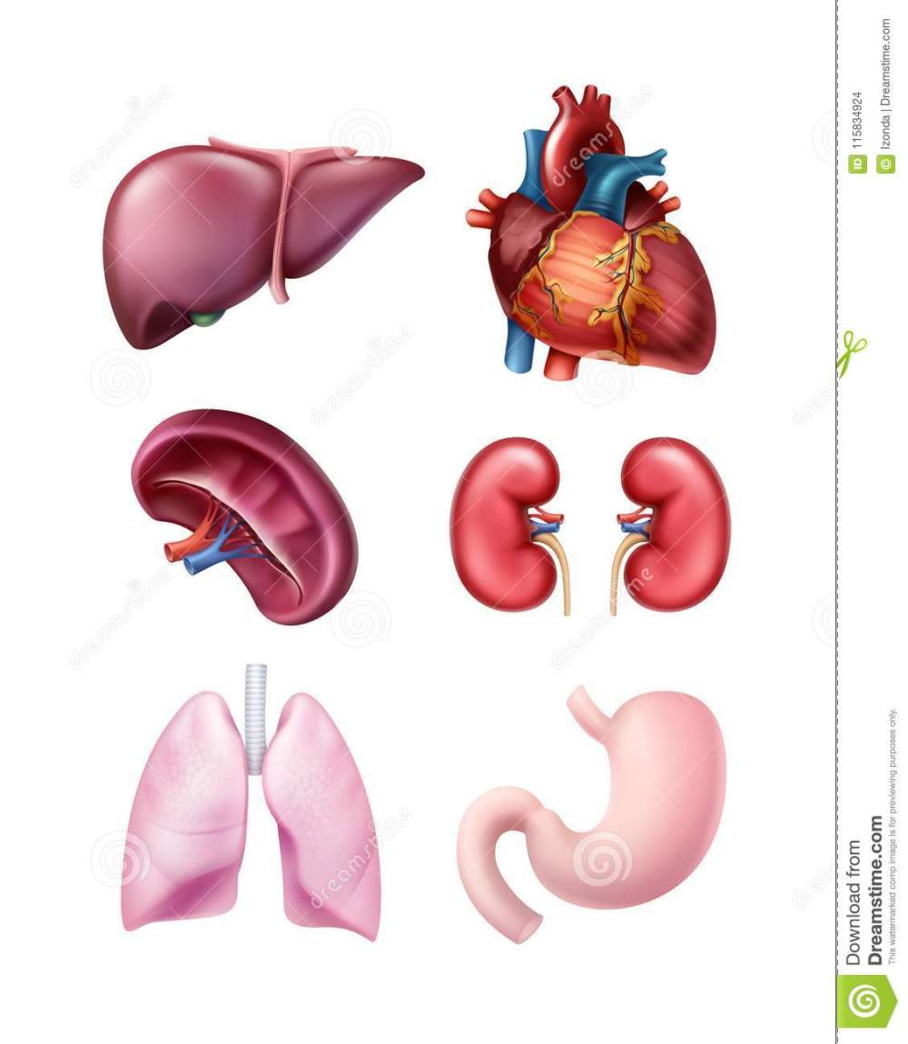 medium resolution of vector set of healthy realistic human organs liver spleen heart stomach kidneys and lungs isolated on white background