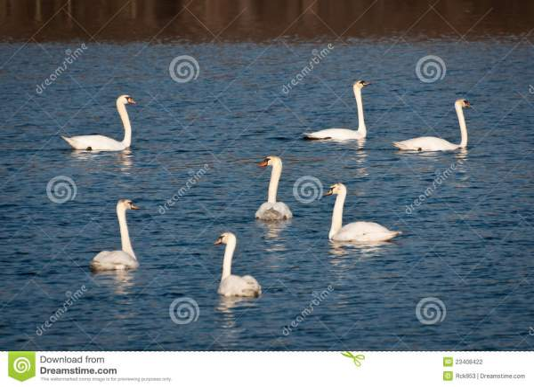 Seven Swans Swimming Stock Of America