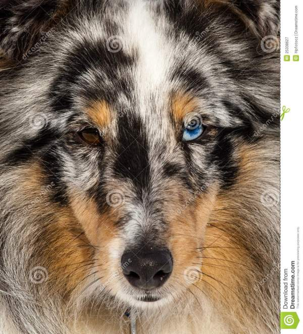 ced136cddcd2 20+ Shetland Sheepdog Face Drawings Pictures and Ideas on Meta Networks