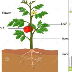Corn Plant Diagram Rascal 600 Wiring Flower Parts Free Engine Image For User