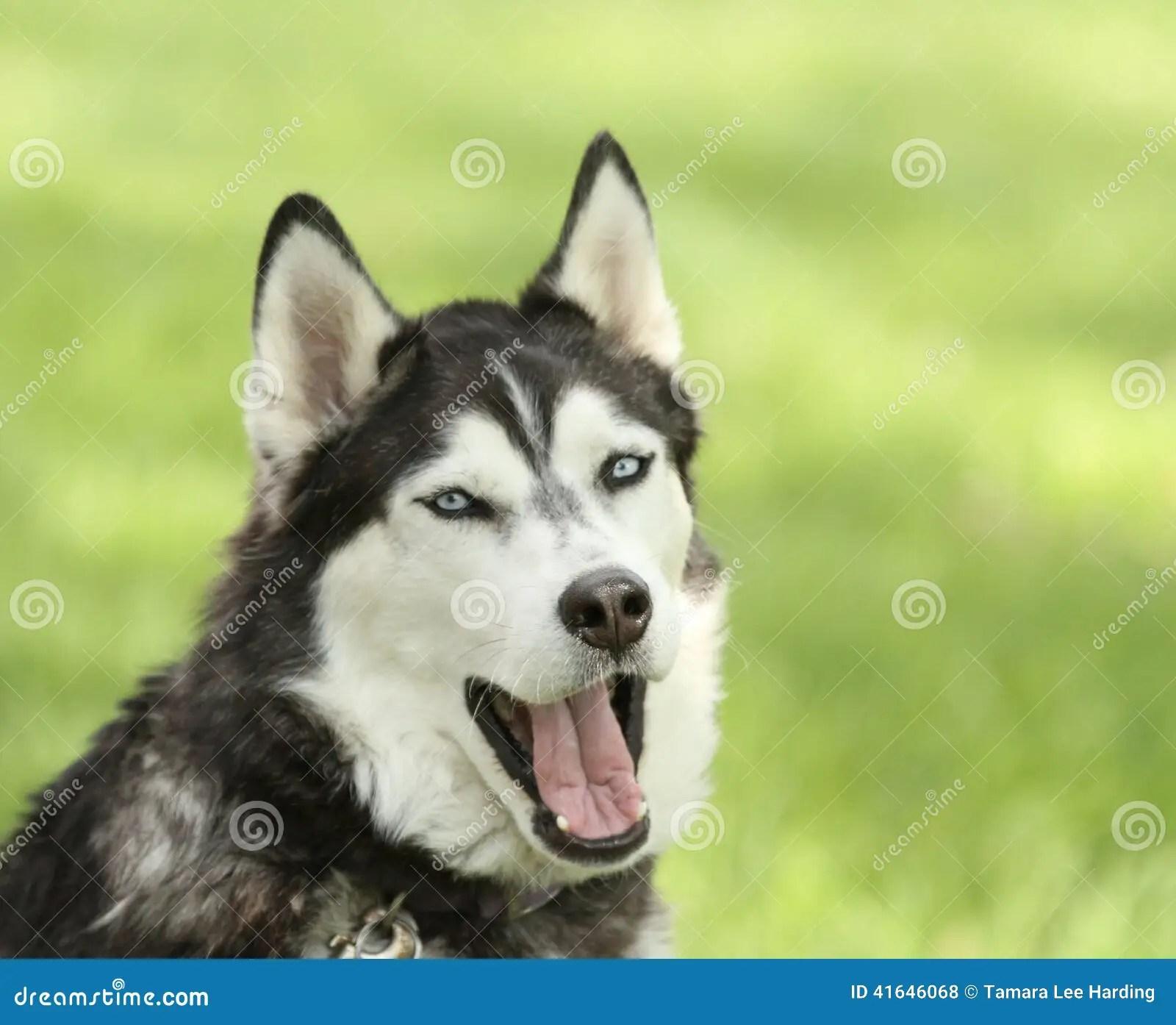 siberian husky with with