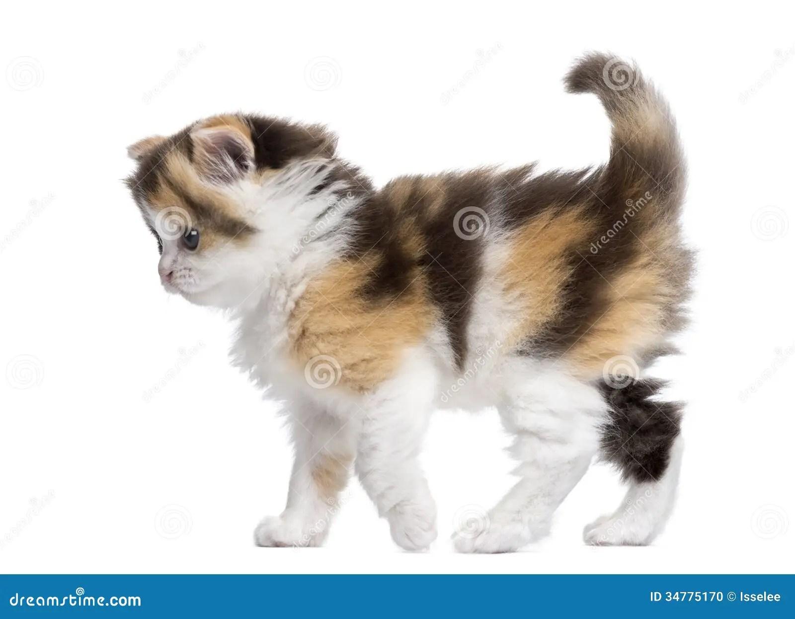 Side View Of A Highland Straight Kitten Walking Alert