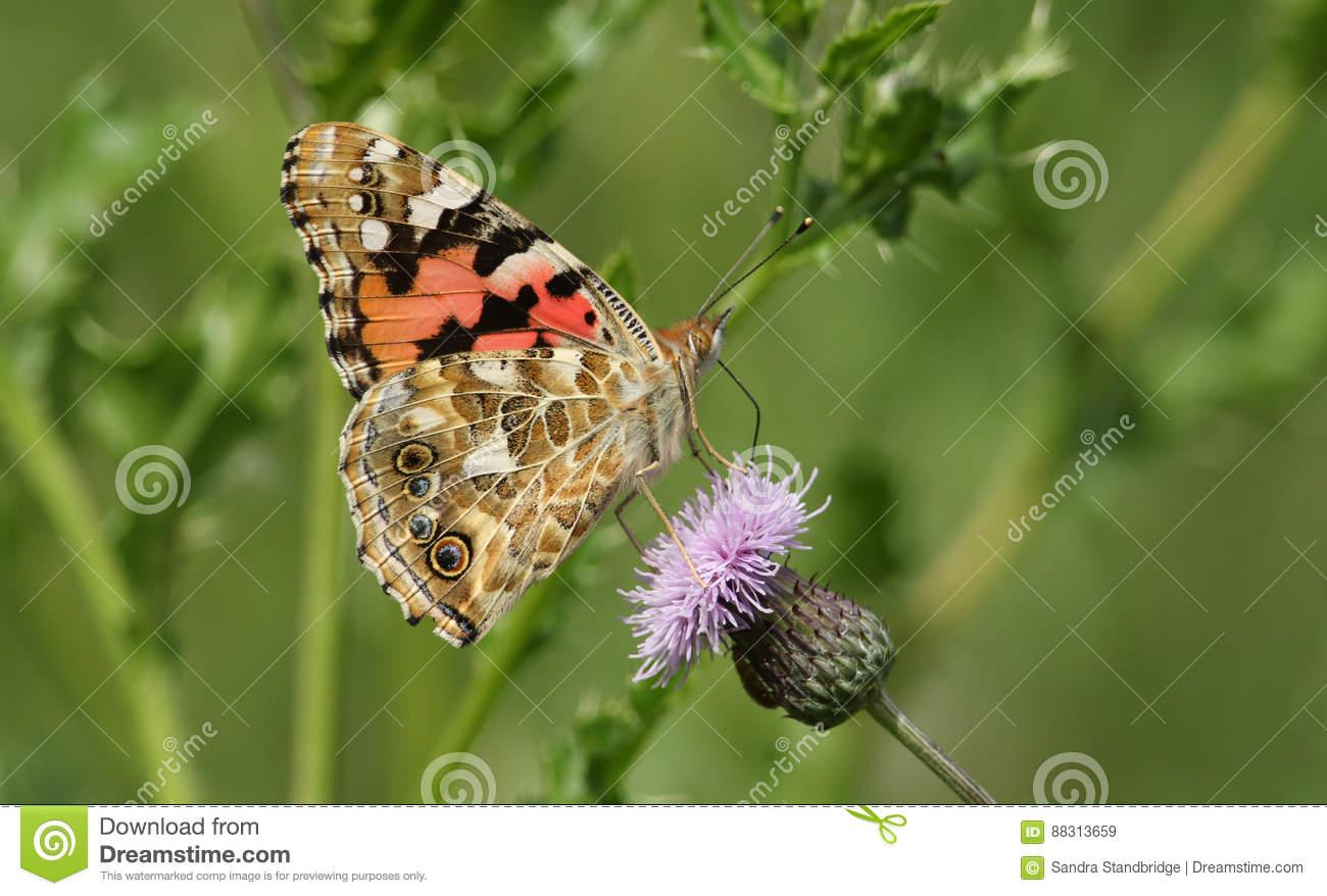 A Side View Of A Painted Lady Butterfly Vanessa Cardui