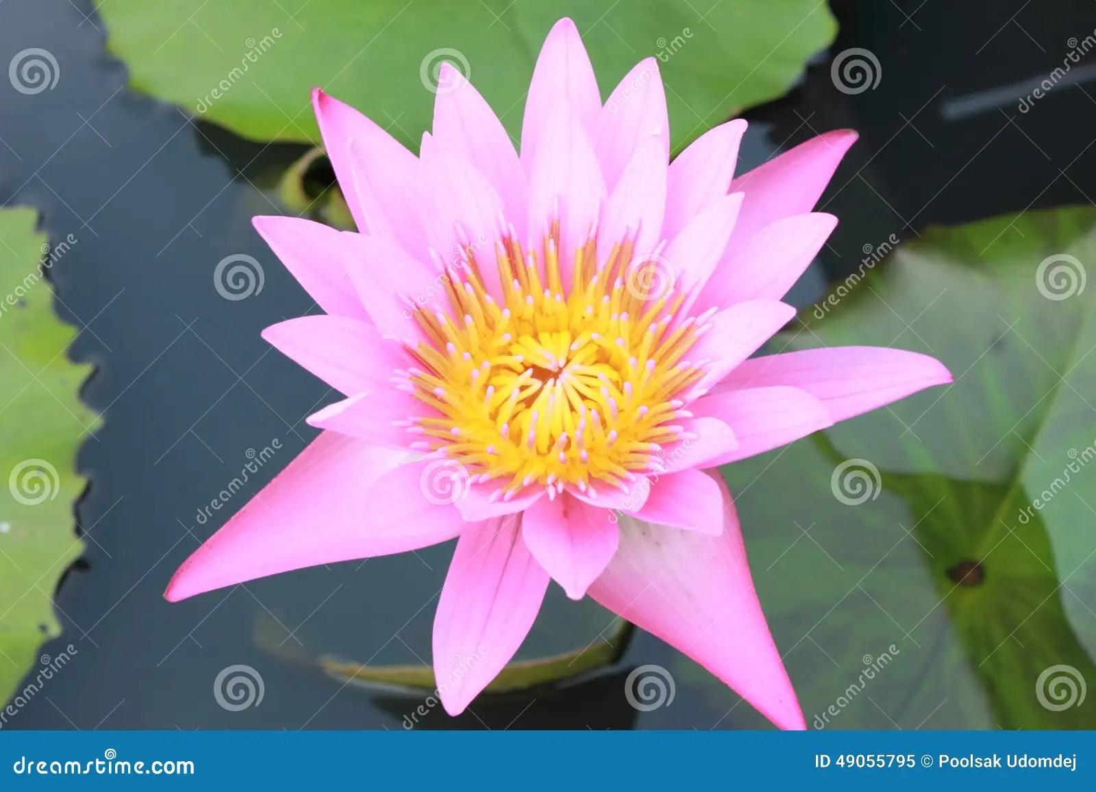 Fleur Signification Signification Spirituelle De Beau Lotus