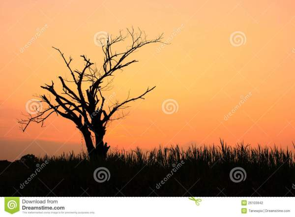 Silhouette Of Dry Tree Sunset Stock