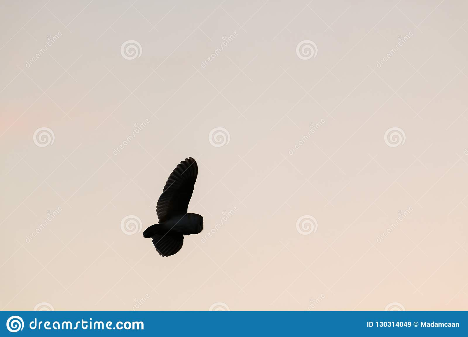 Silhouette Of Wild Barn Owl Hunting At Sunset In Natural