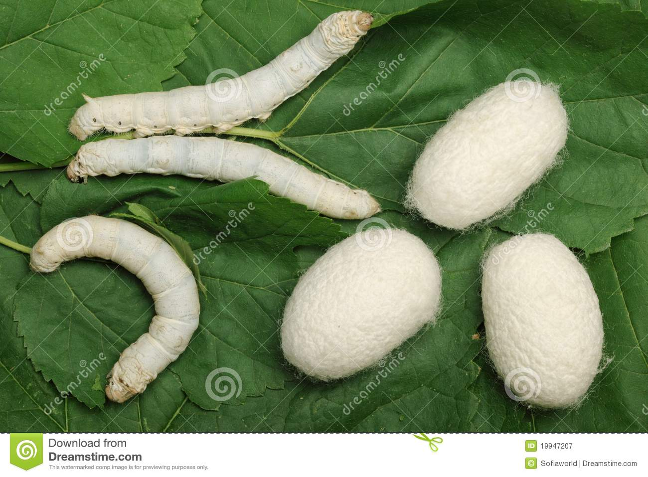 Silk Cocoons with Silkworm stock image Image of fluffy