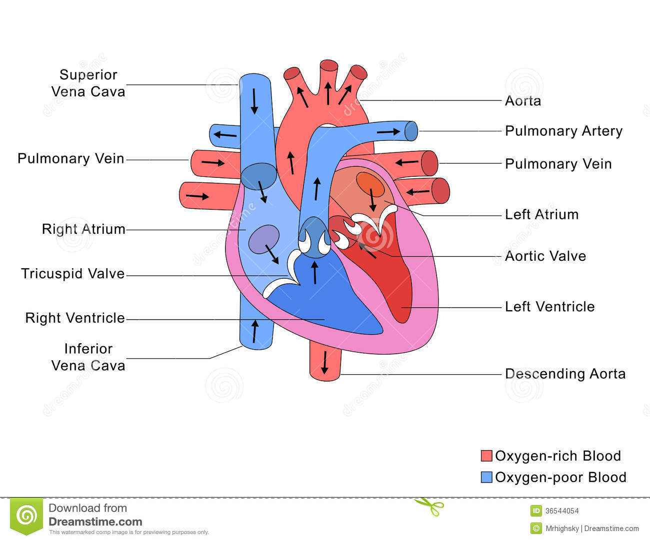 Simplified Structure Of Heart Stock Photo