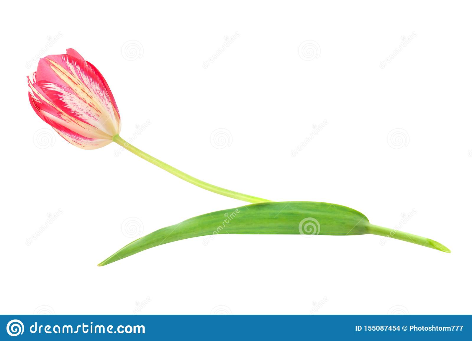 Single Fresh Whole Tulip Red And Yellow Colors With One