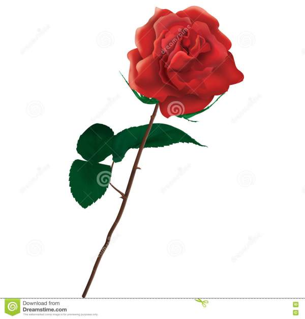 Single Red Rose Illustration Stock - Of