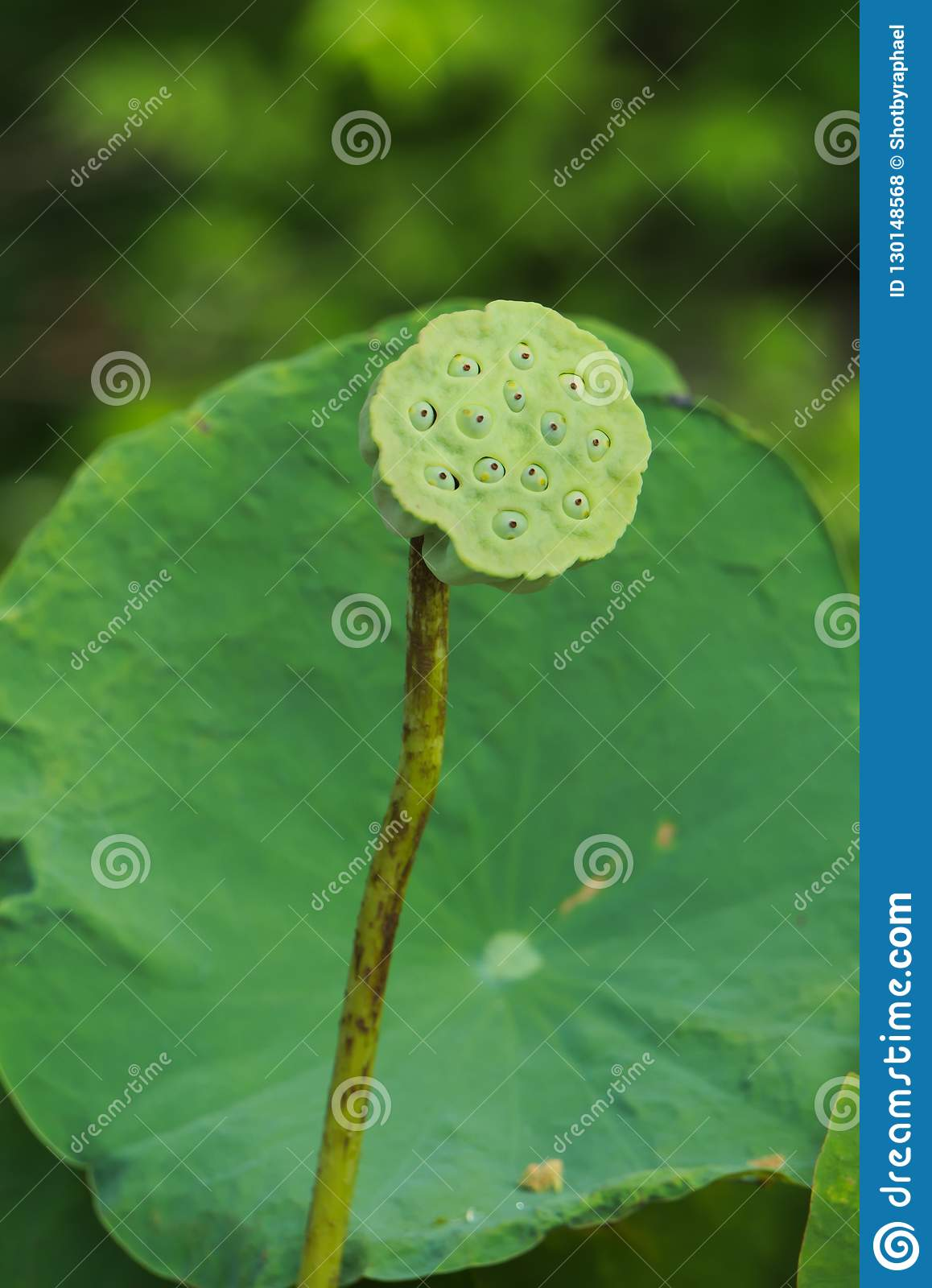 A Single Tall Green Lotus Stem Seeds And Pod Fronting