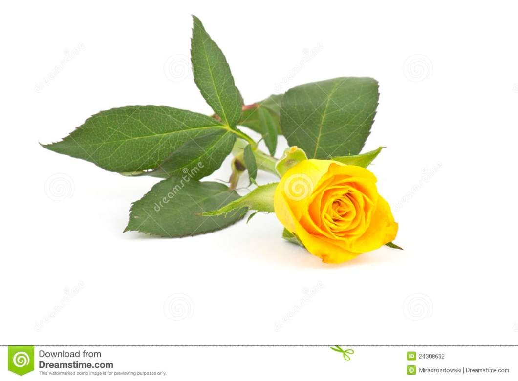 Single yellow rose hd image wallsjpg single yellow rose flower leaf stock photos images pictures mightylinksfo