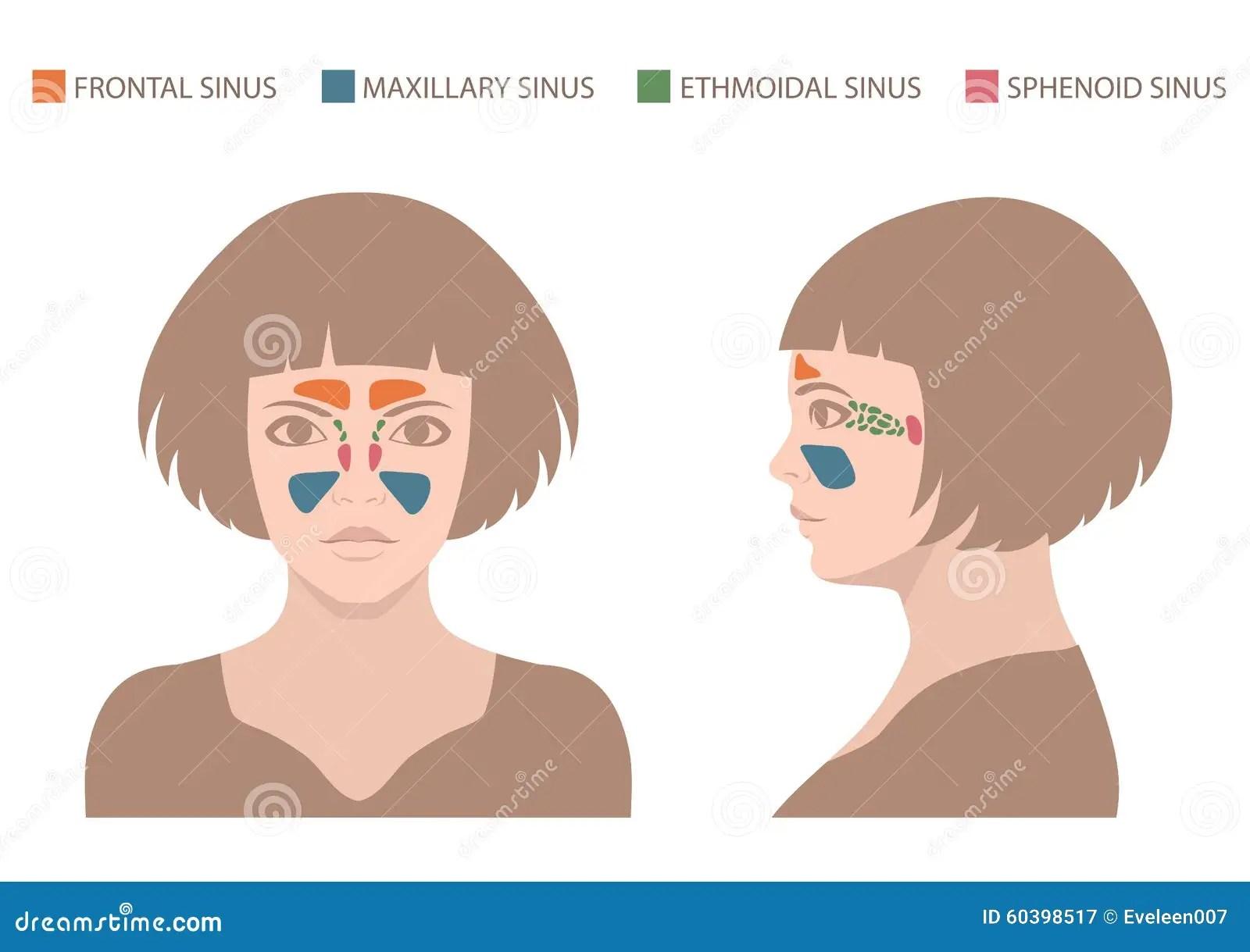 hight resolution of vector nose illustration sinus anatomy human respiratory system