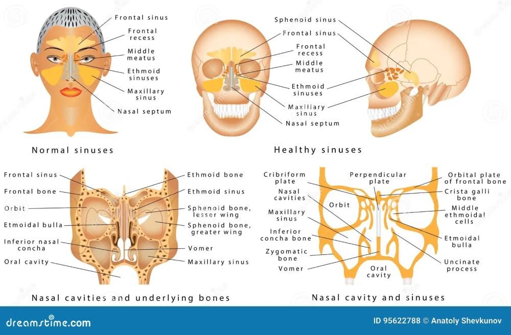 medium resolution of human anatomy sinus diagram anatomy of the nose nasal cavity bones anatomy of paranasal sinuses sinusitis it is the inflammation of the maxillary