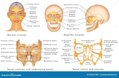small resolution of human anatomy sinus diagram anatomy of the nose nasal cavity bones anatomy of paranasal sinuses sinusitis it is the inflammation of the maxillary