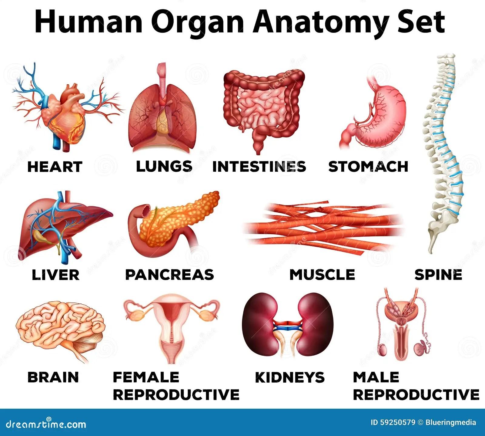 Sistema De La Anatomia Del Organo Humano Ilustracion Del