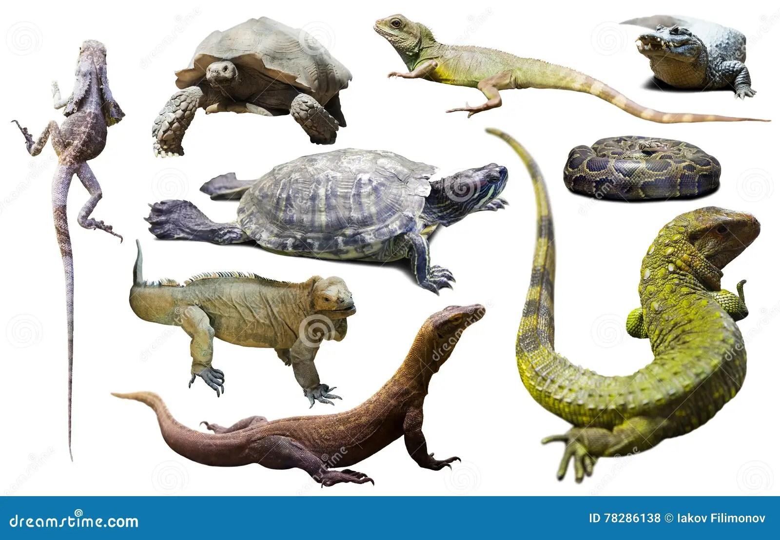 Sistema De Reptiles Aislados Foto De Archivo