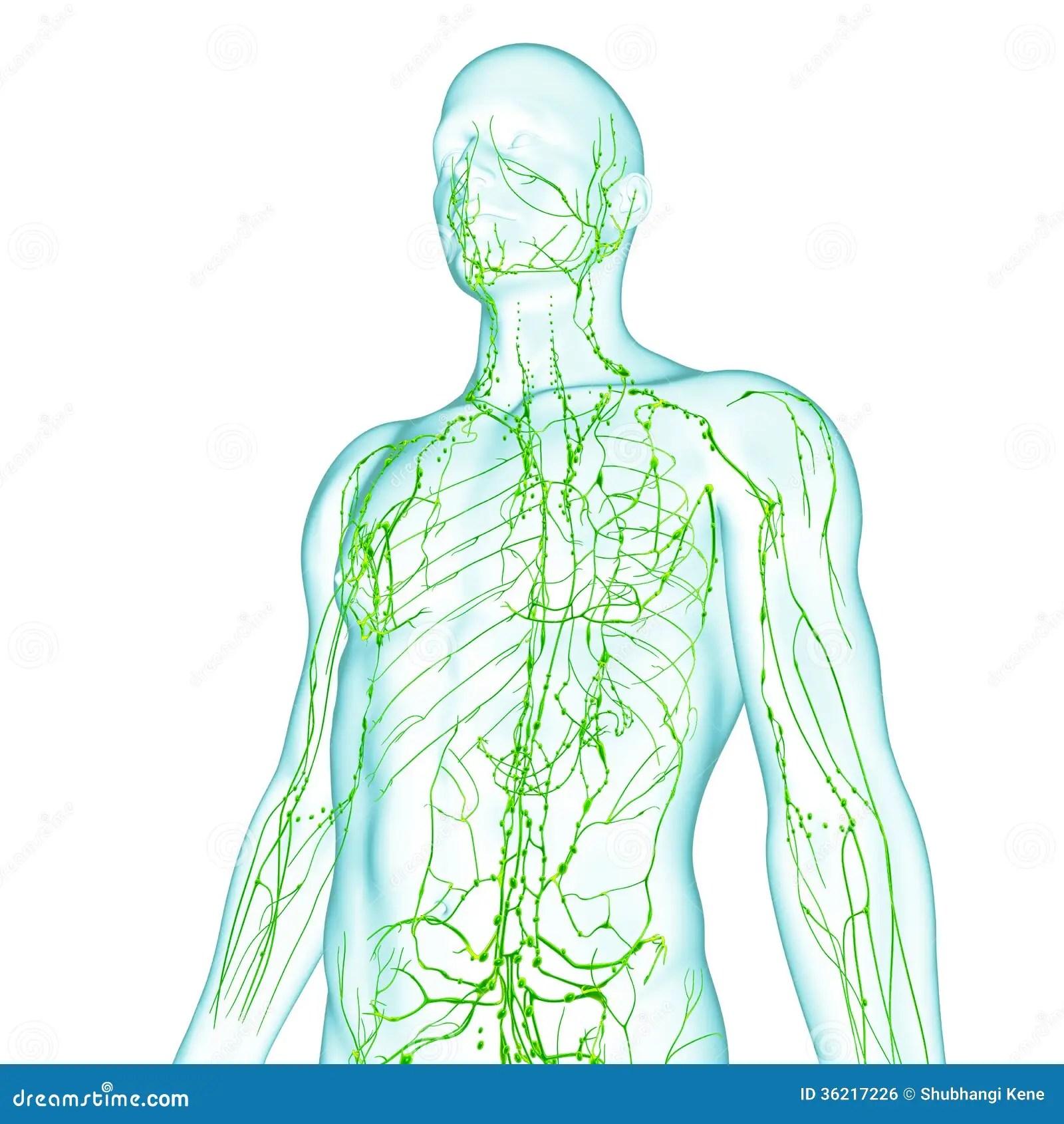 Dorable Anatomía Masculina Canguro Ilustración - Anatomía de Las ...