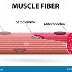 Sarcomere Diagram To Label Fender Tele Wiring The Skeletal Muscle Fiber Stock Vector Illustration Of